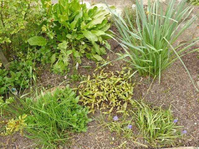 Vietnamese coriander, peppermint, Sorel, sage and garlic chives